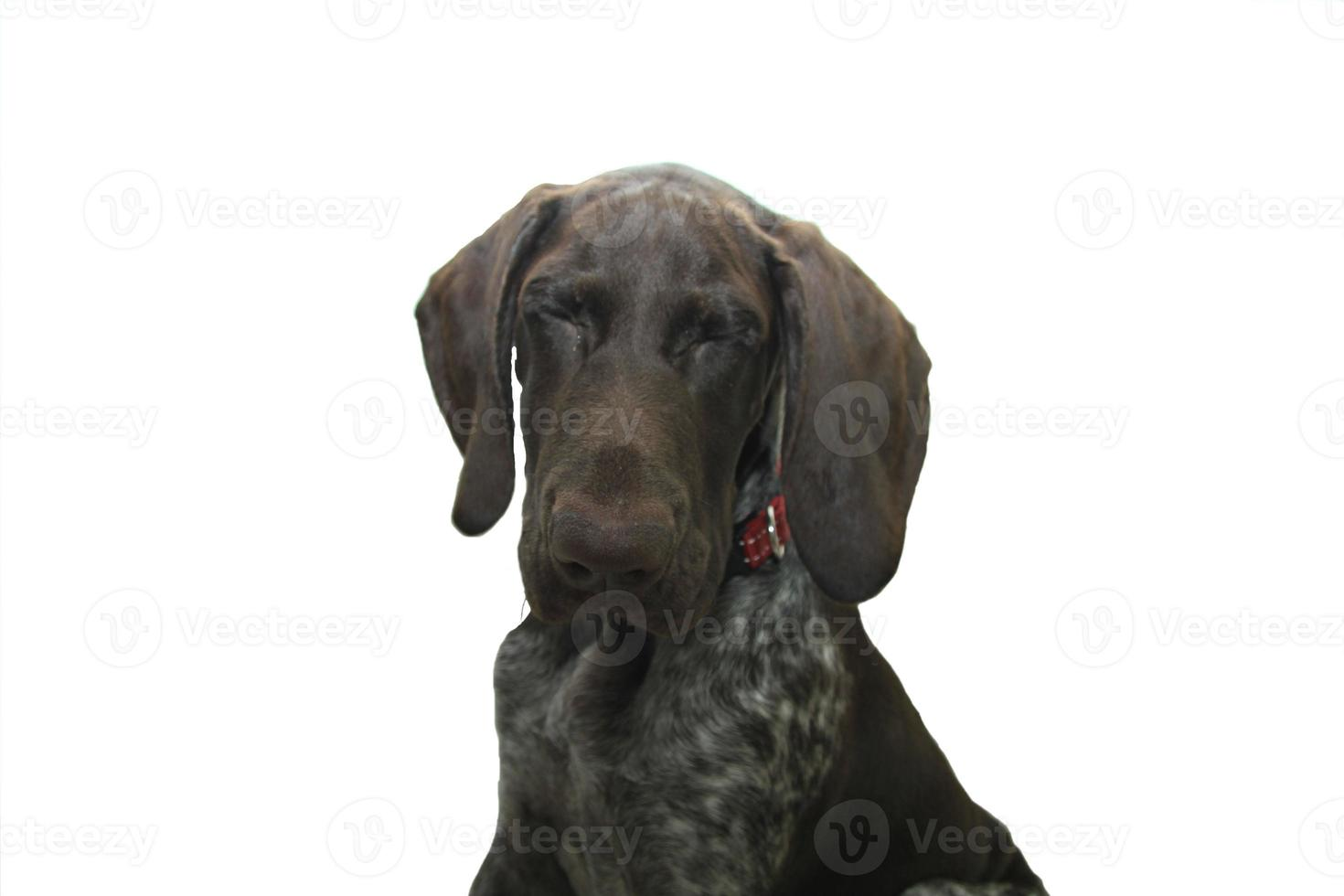 cachorro de puntero de pelo corto alemán foto