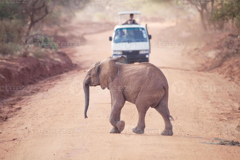 elefante africano (loxodonta africana) foto