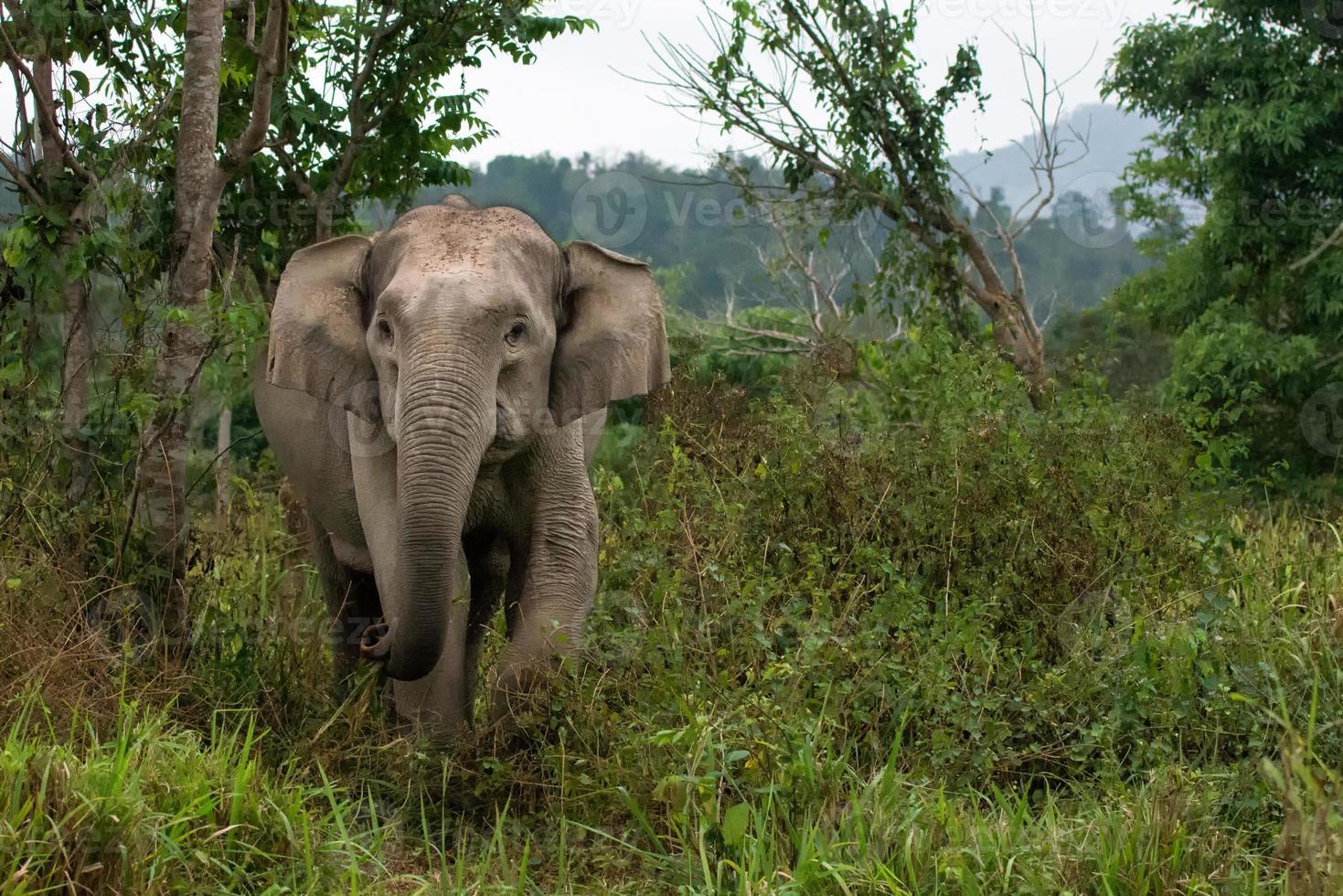 elefante asiático salvaje foto