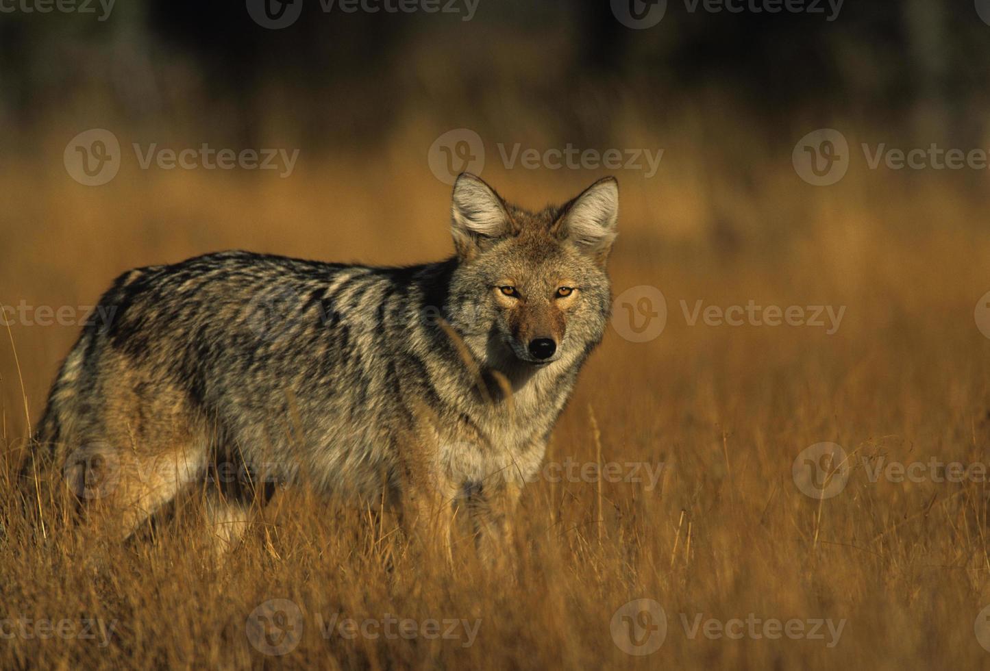 un coyote en la hierba larga mira a la cámara foto