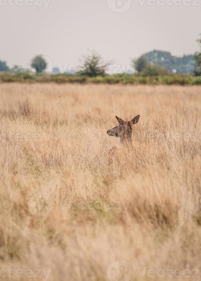 Deer in the Wild photo