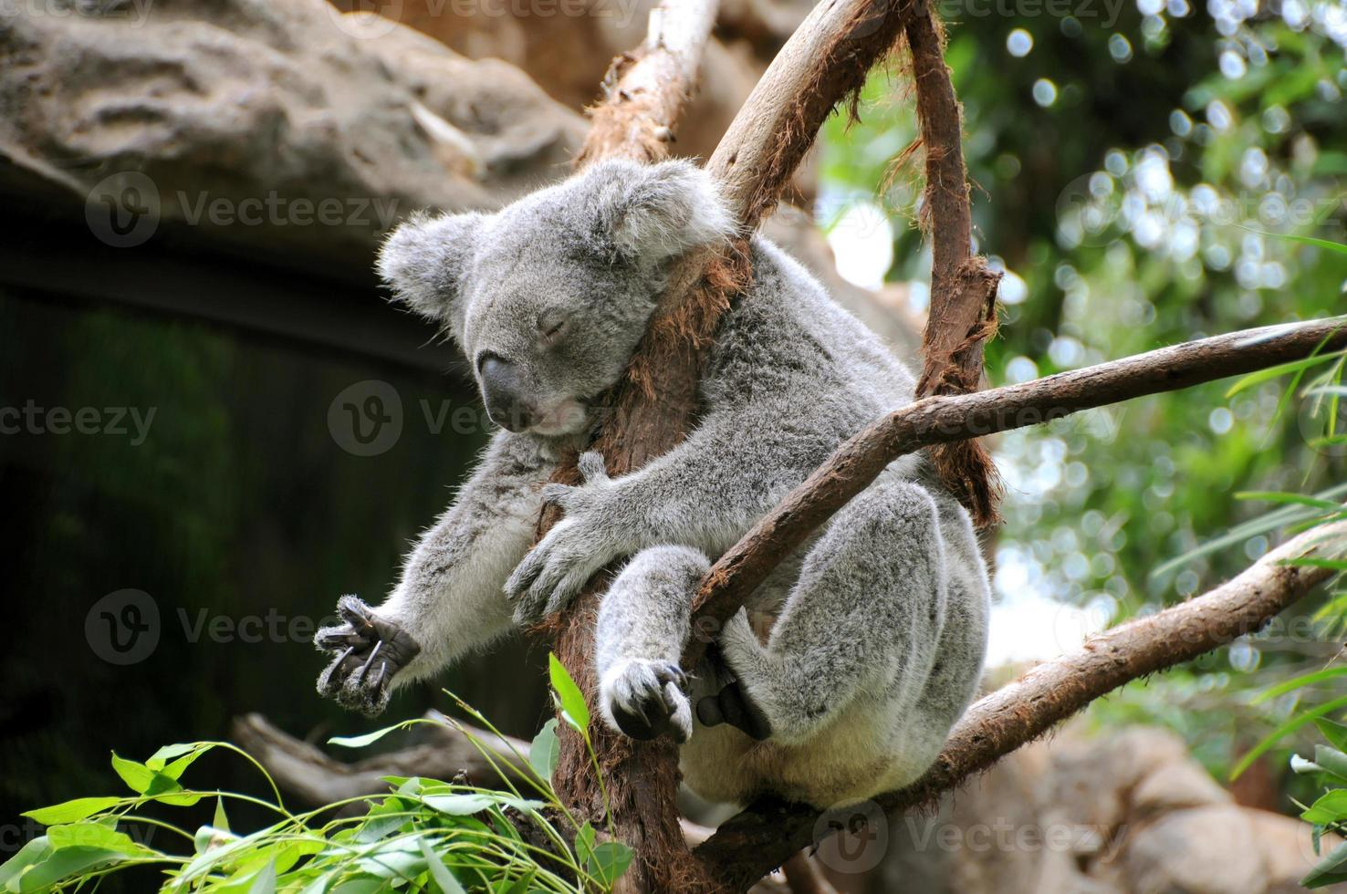 koala duerme en un eucalipto foto