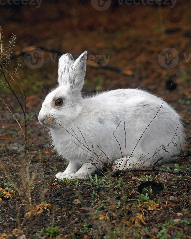 liebre de patas blancas foto