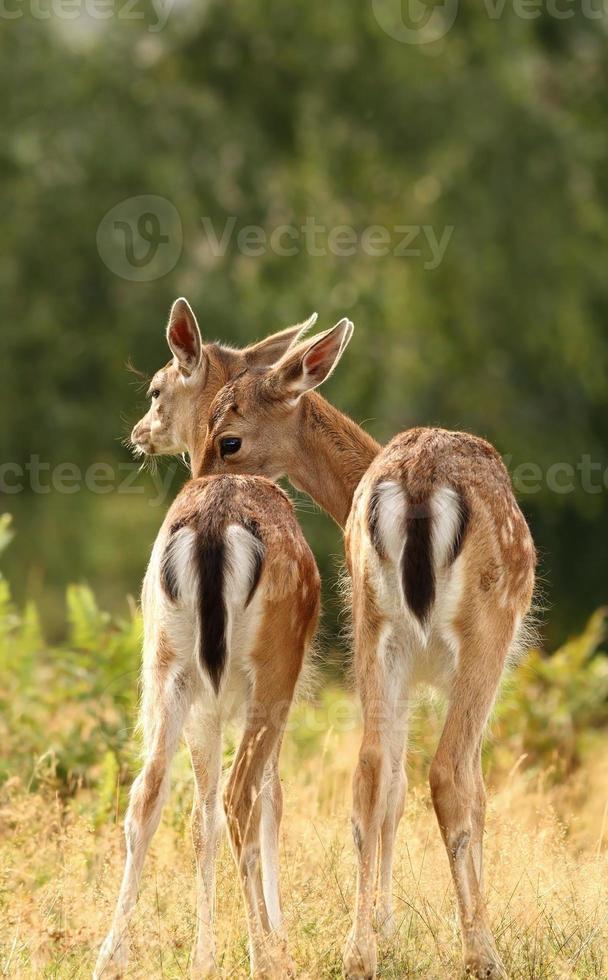 hermanos ciervos foto