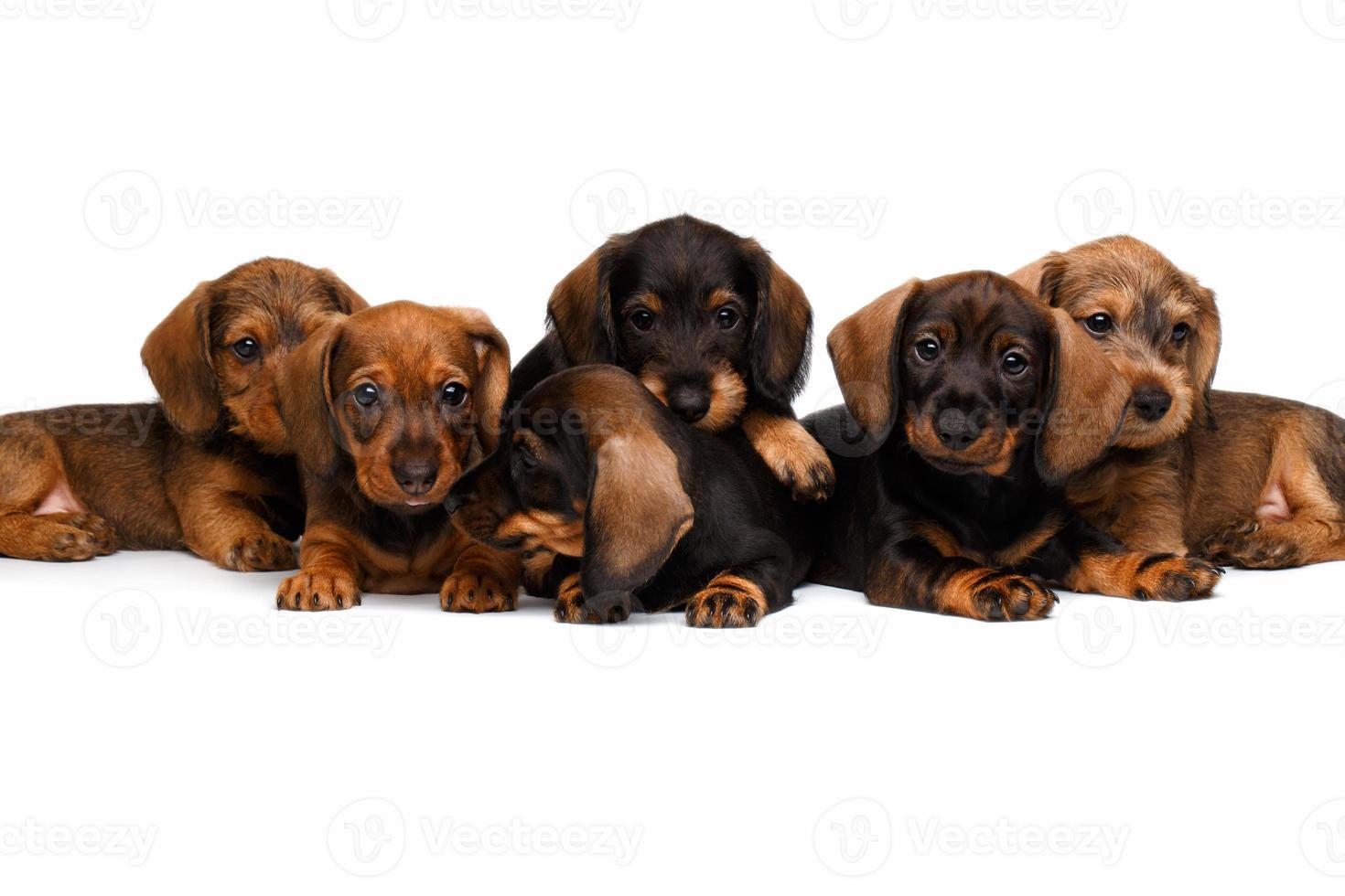 cachorros de perro salchicha foto