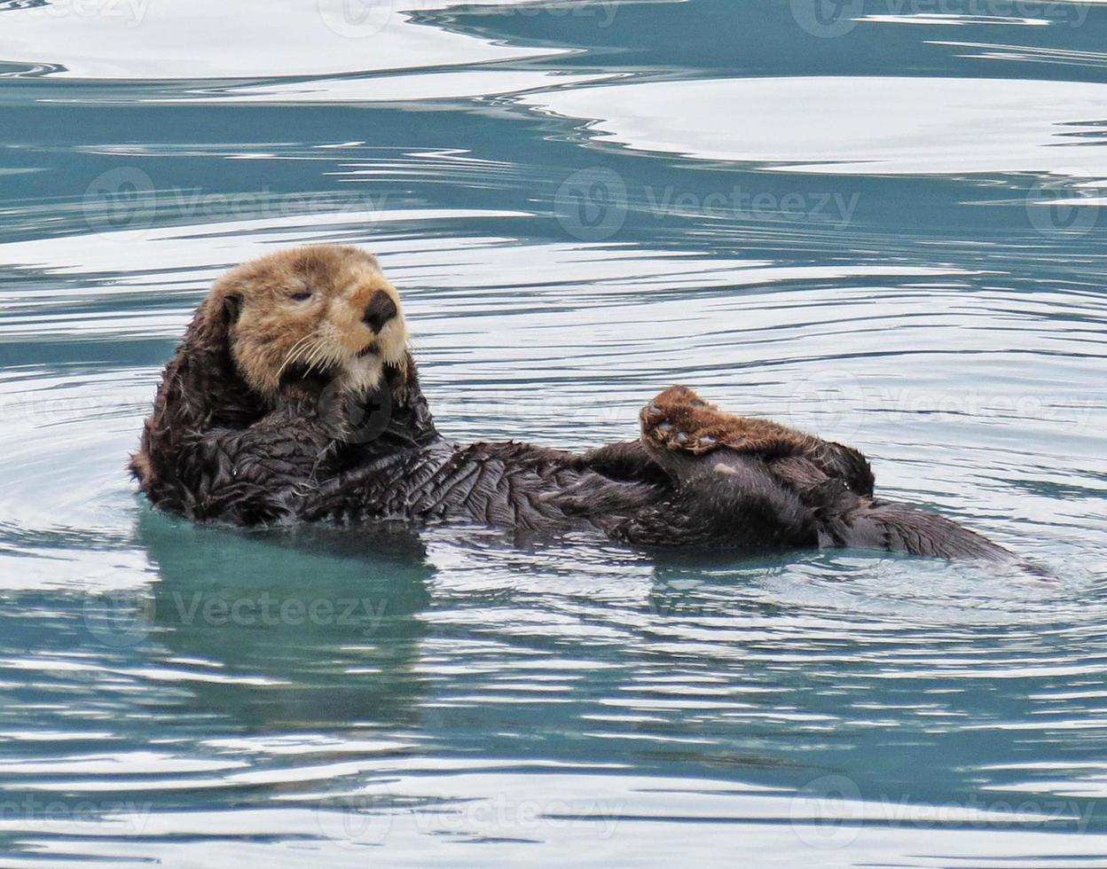 nutria marina de Alaska foto