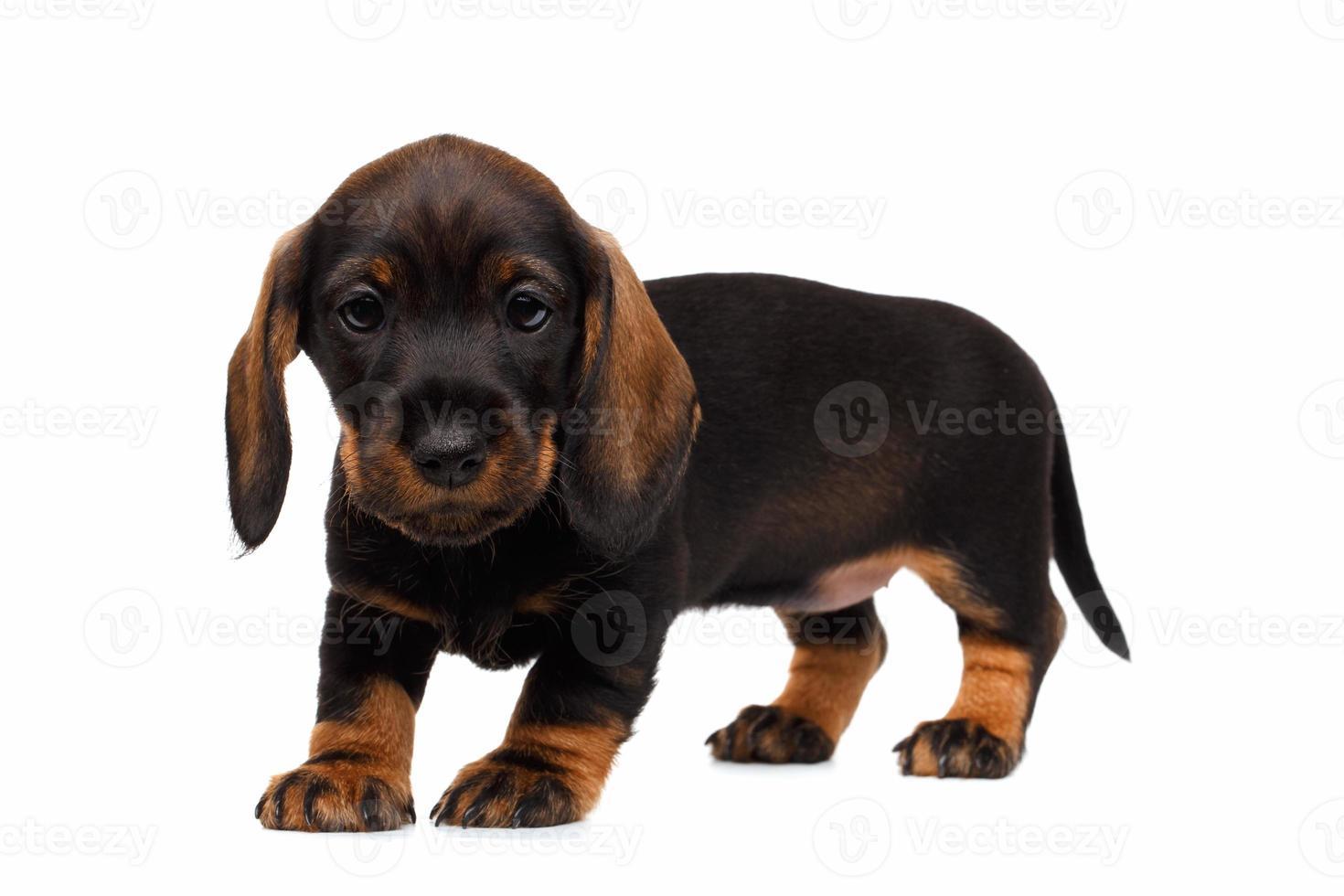 cachorro de perro salchicha foto