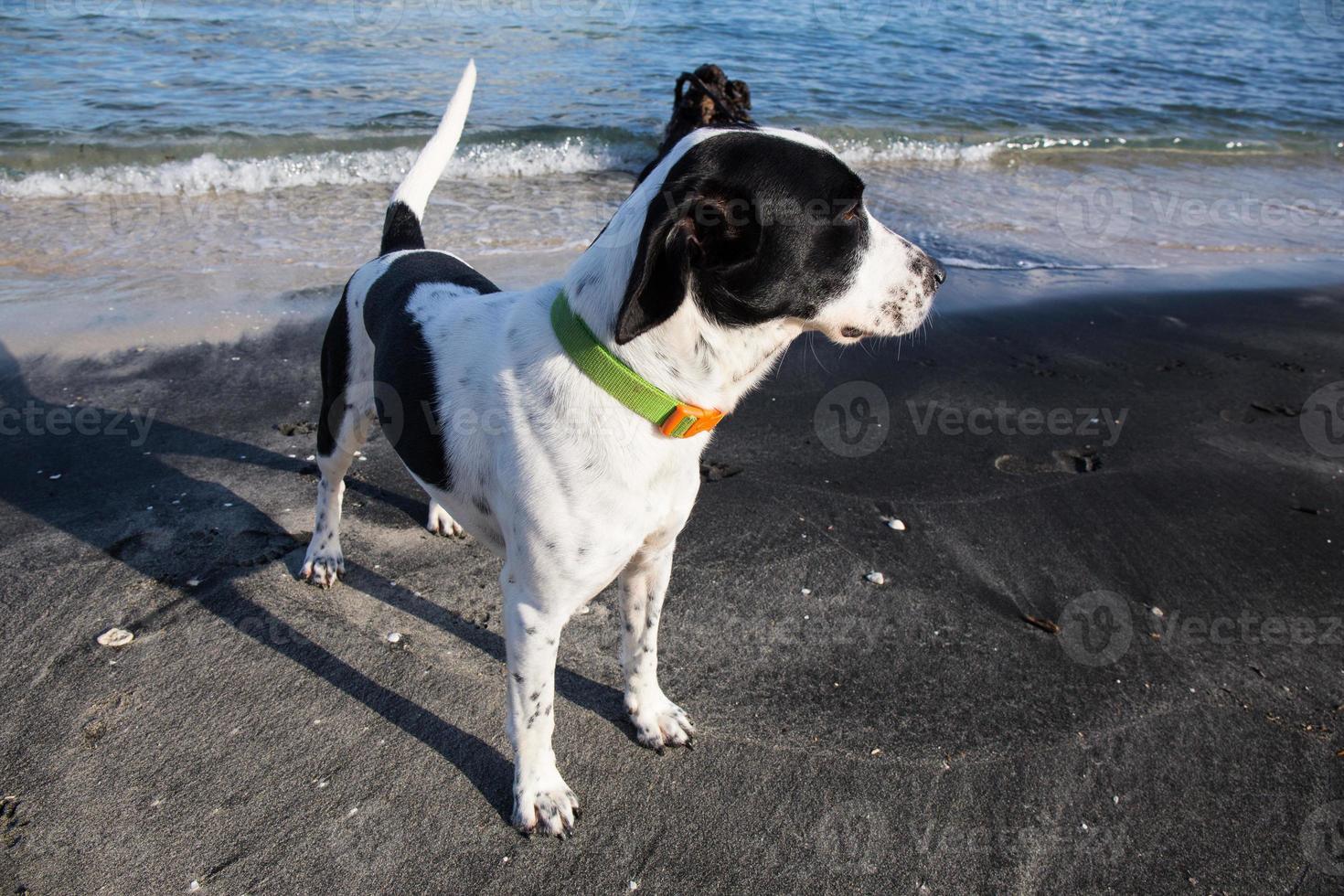 cachorro blanco y negro en la playa foto