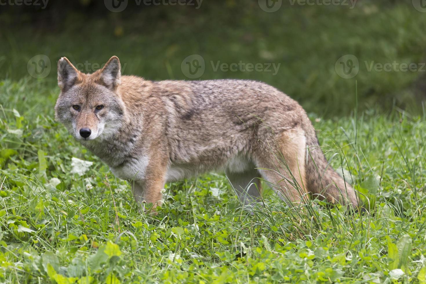 Coyote solitario en un entorno de otoño foto