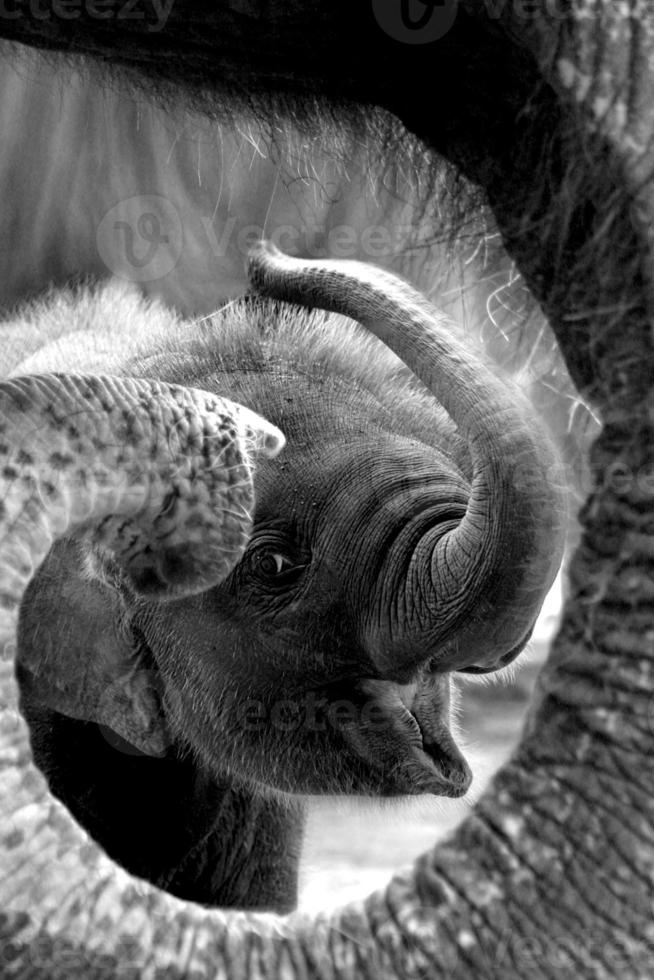 sonrisa de elefante en tailandia foto