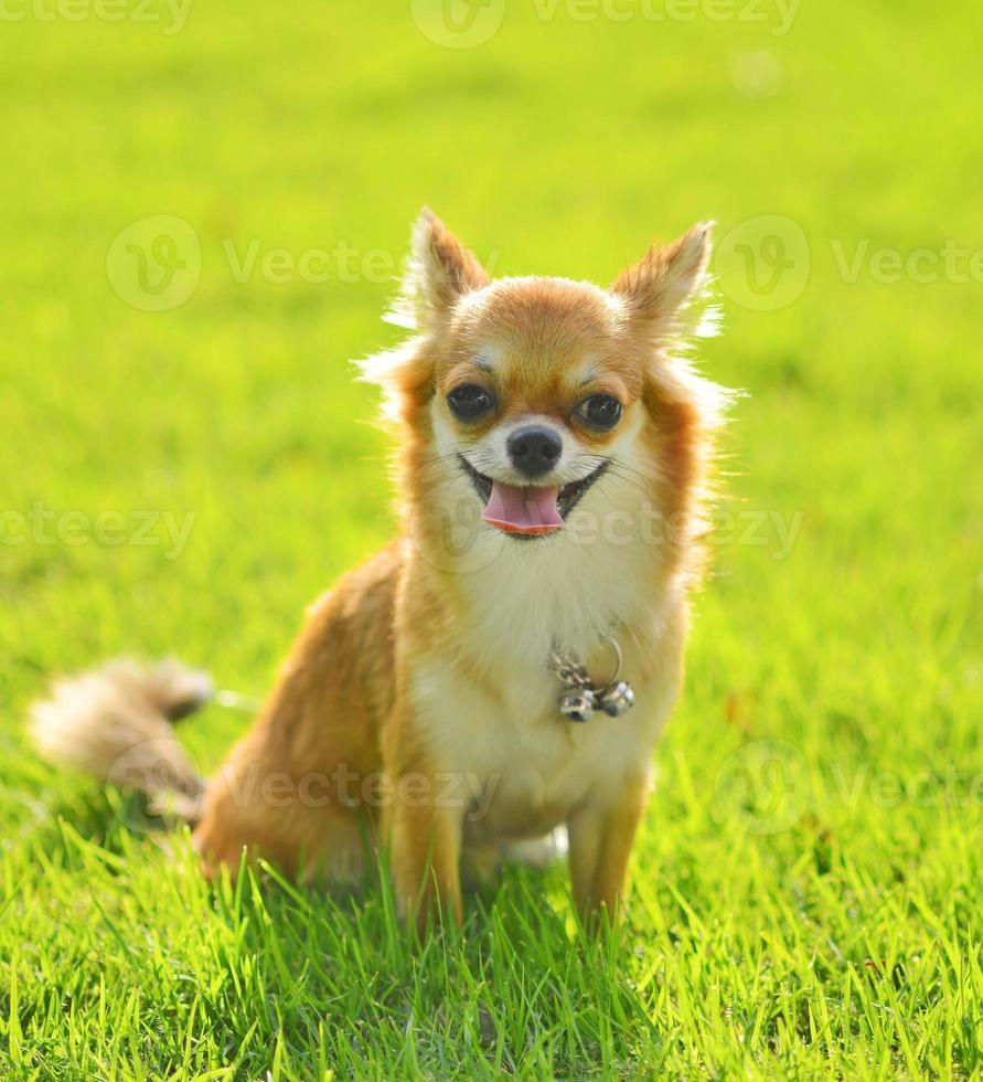 Perro chiwawa sobre césped en el parque foto