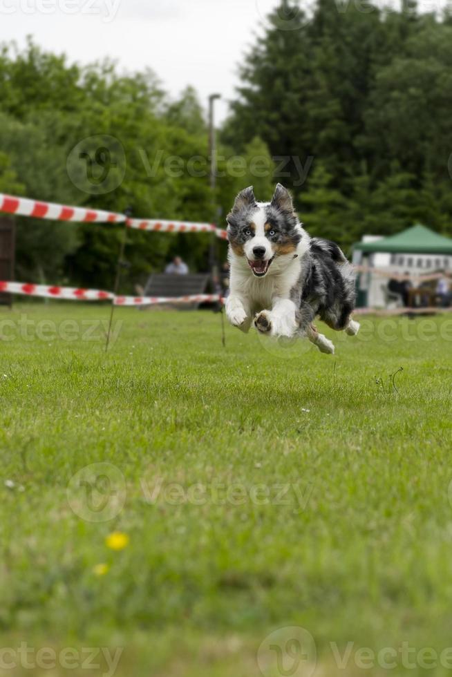 husky en acción foto