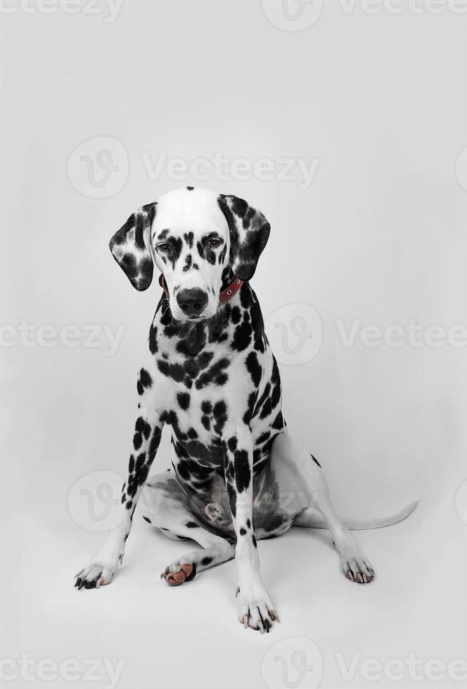 perro dálmata sentado y mirando hacia abajo foto