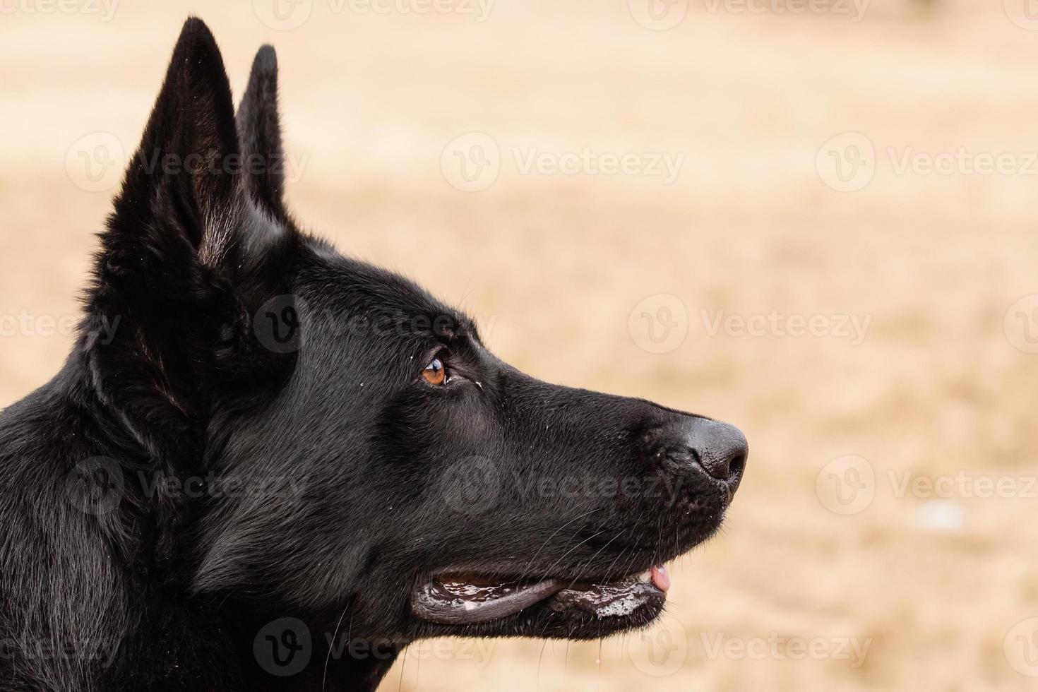pastor alemán negro foto