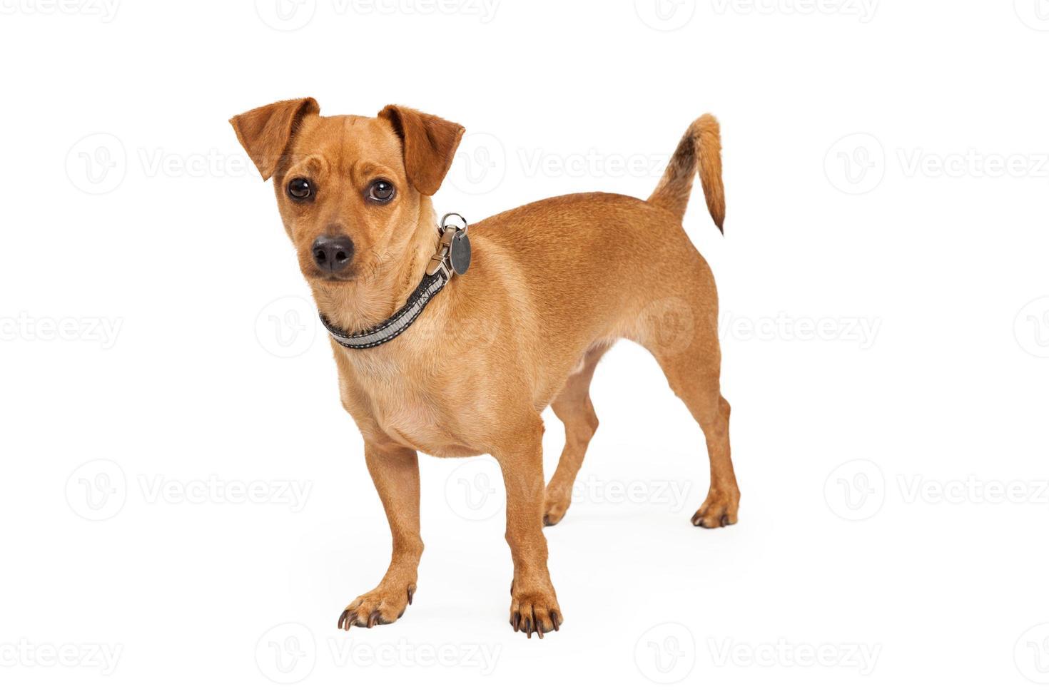 chihuahua perro cruzado de pie foto
