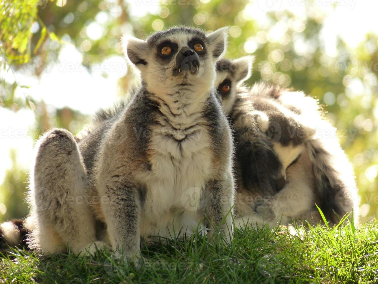 dos lémures sentados en el césped foto
