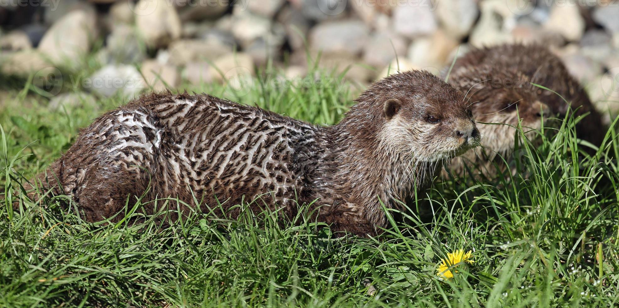 Pair of Oriental small-clawed otter photo