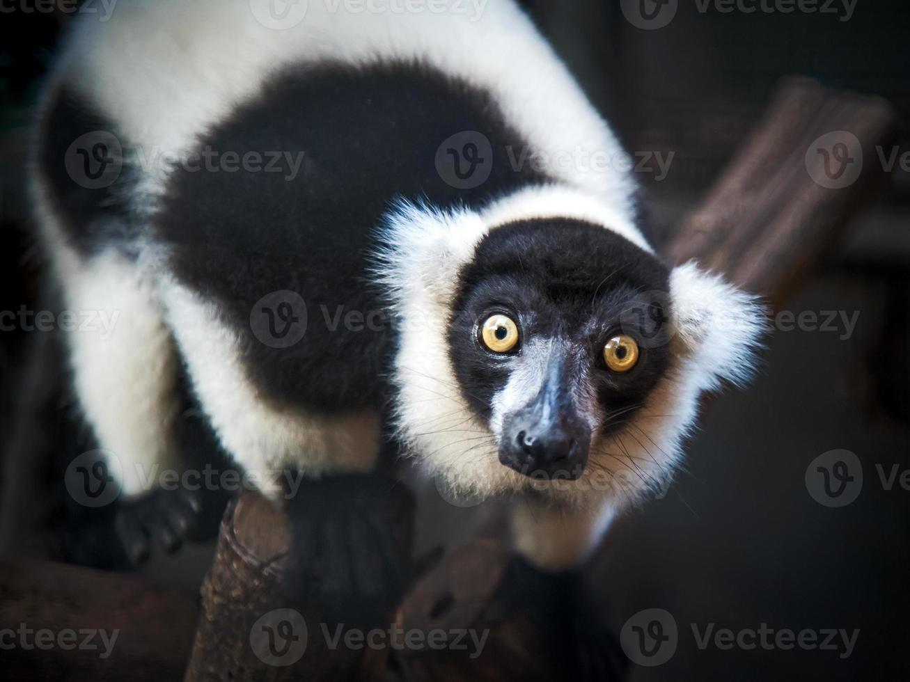 lémur rufo en blanco y negro foto