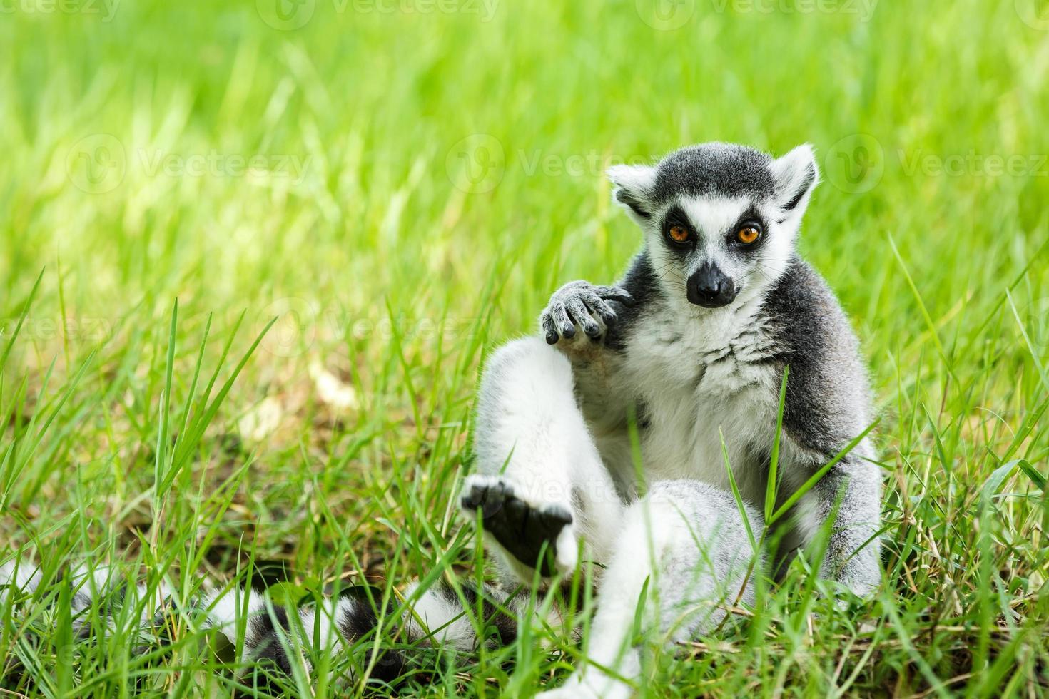 lémur de cola anillada sentado en la hierba foto