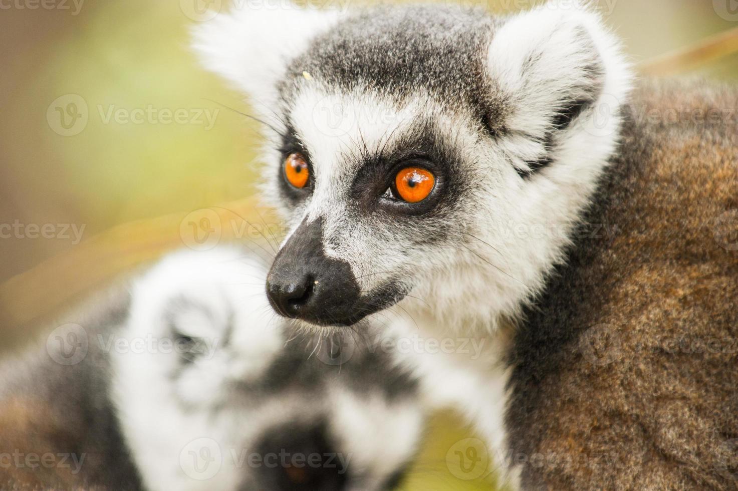 lémur en madagascar foto