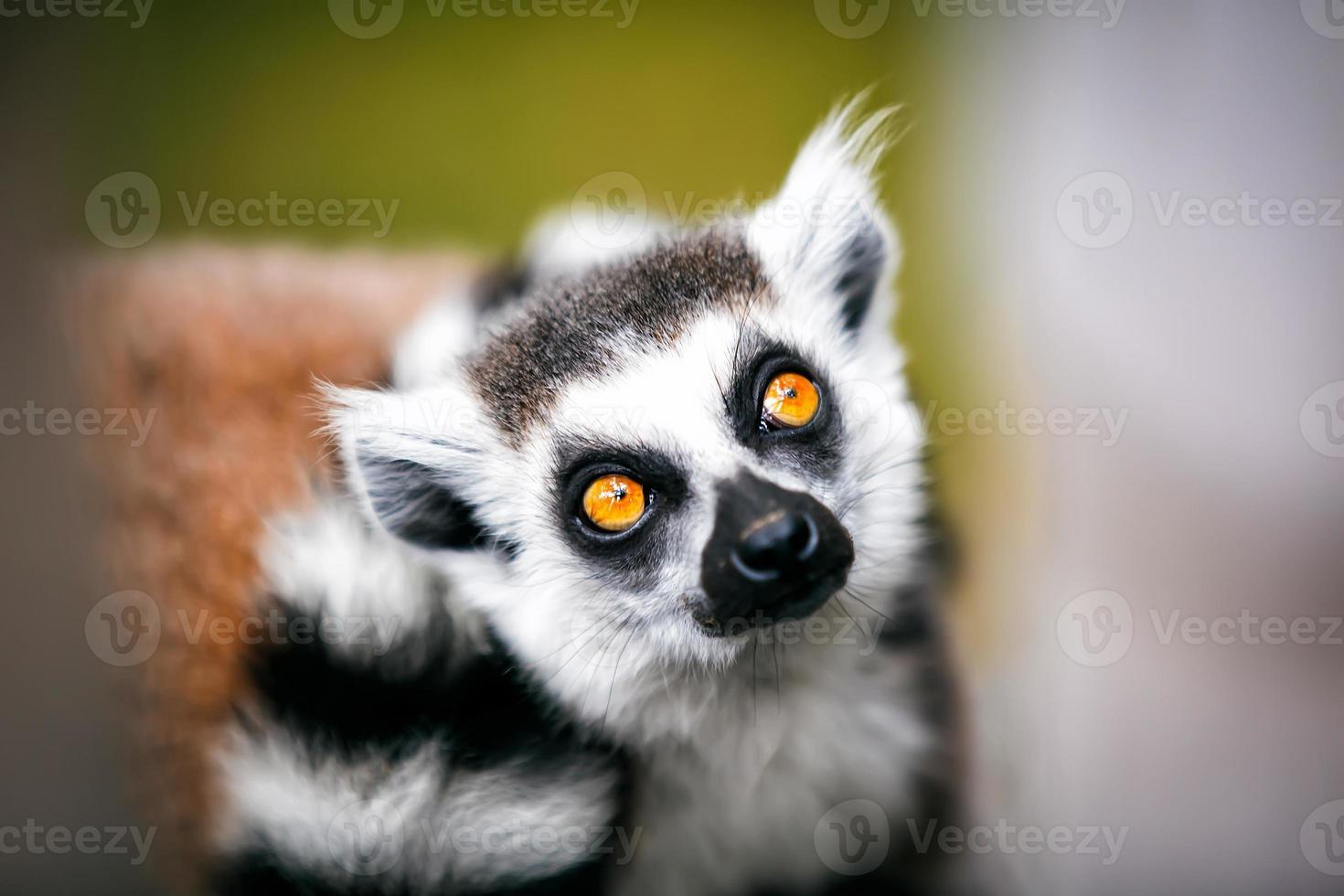anillo de lémur de cola. foto