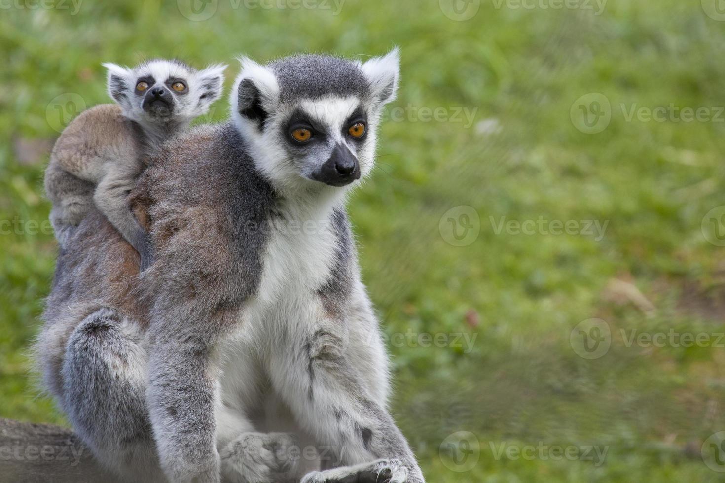 lémur de cola anillada madre con bebé foto