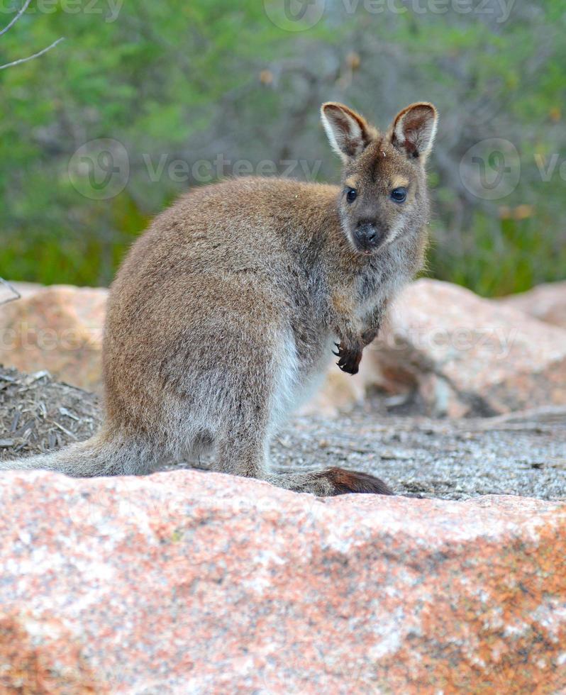 canguro - wallaby en tasmania australia foto