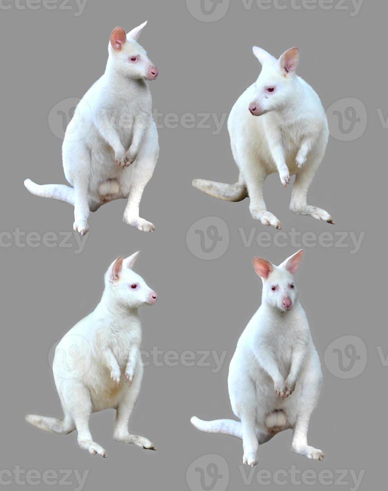 colección de wallaby albino aislado foto