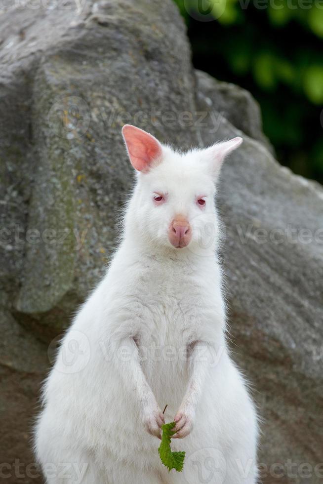 Primer plano de una hembra de albino blanco de wallaby de cuello rojo foto