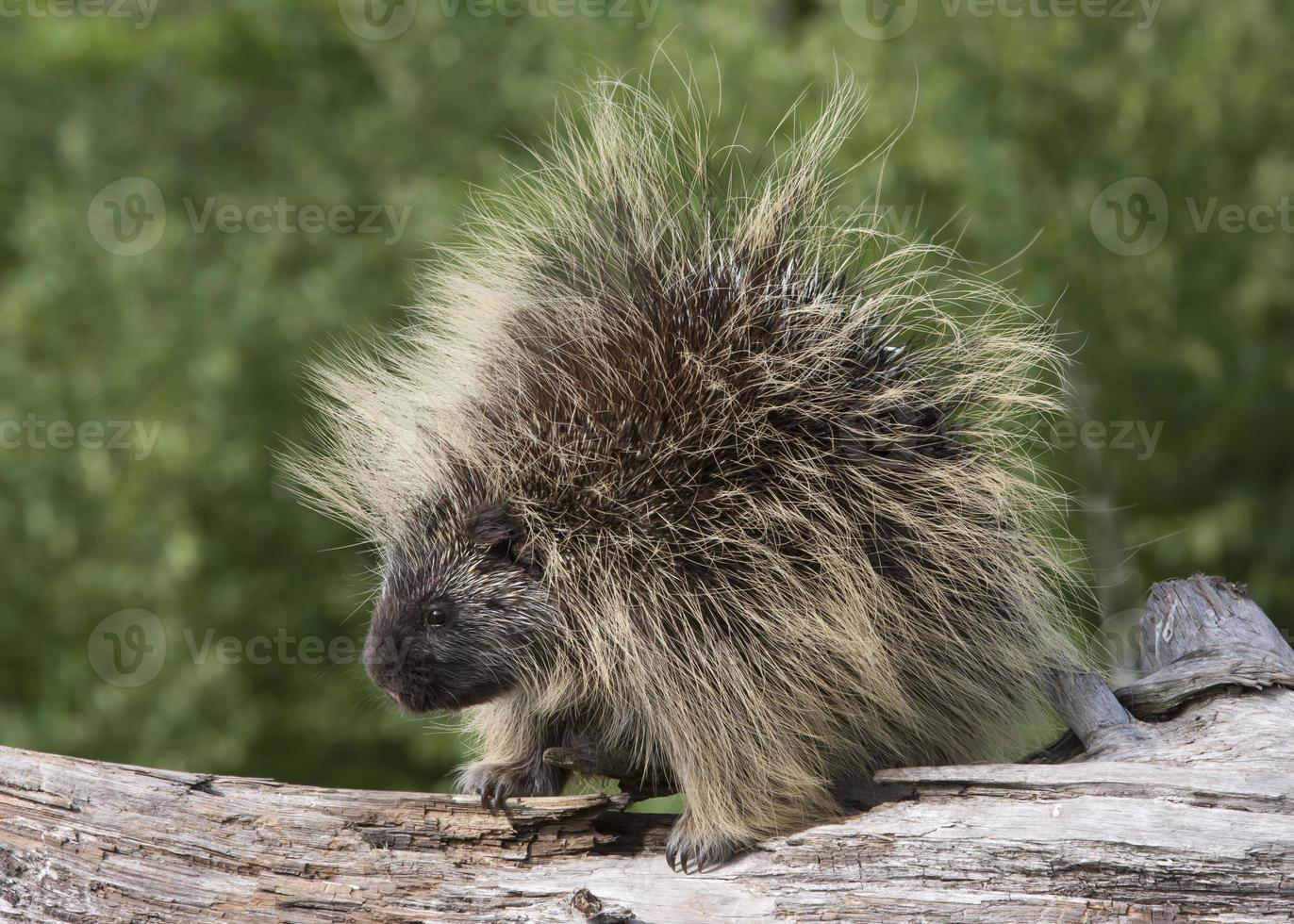 Porcupine Portrait photo