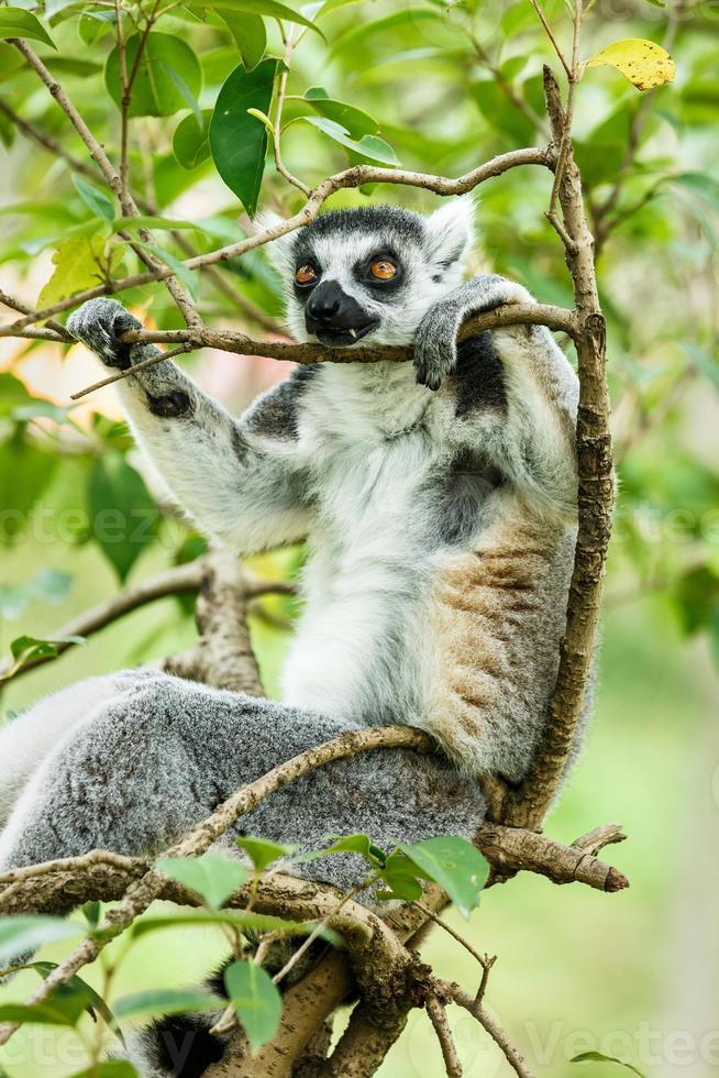 lémur de cola anillada durmiendo en el árbol foto