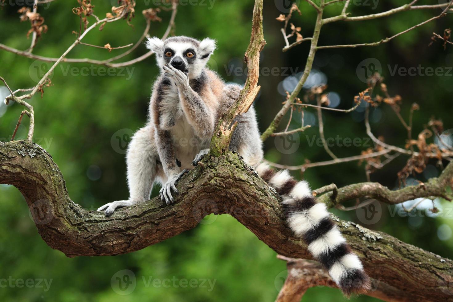 lémur de cola anillada (lemur catta) foto