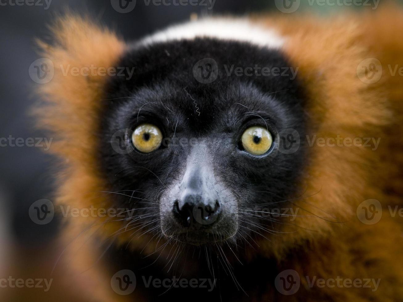 lémur rufo rojo foto
