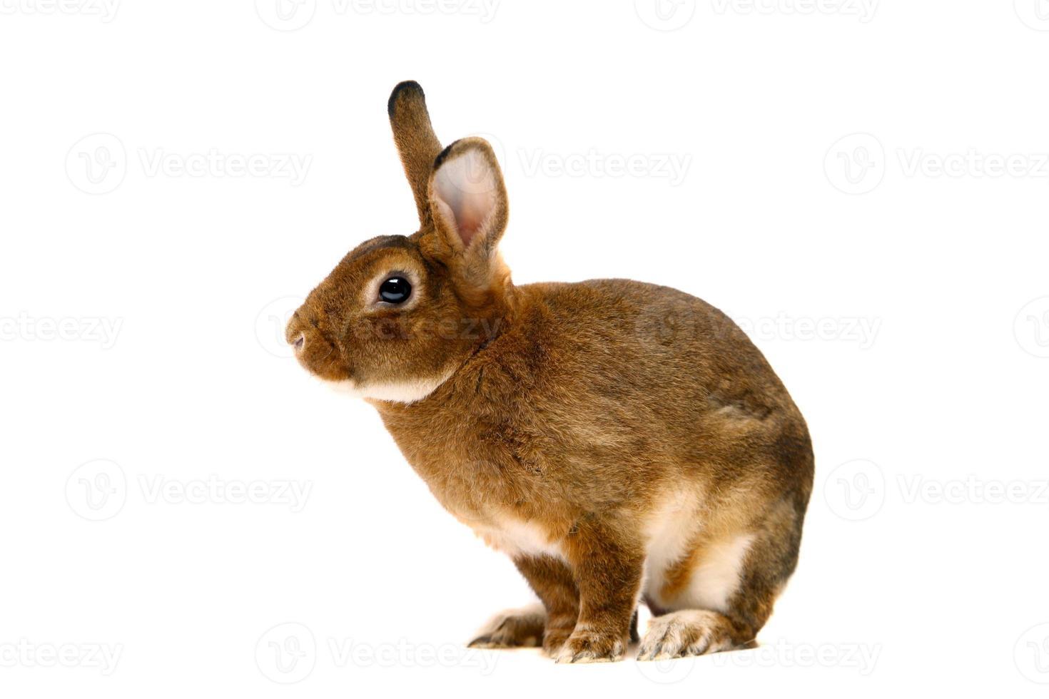 Castor Rex rabbit over white photo