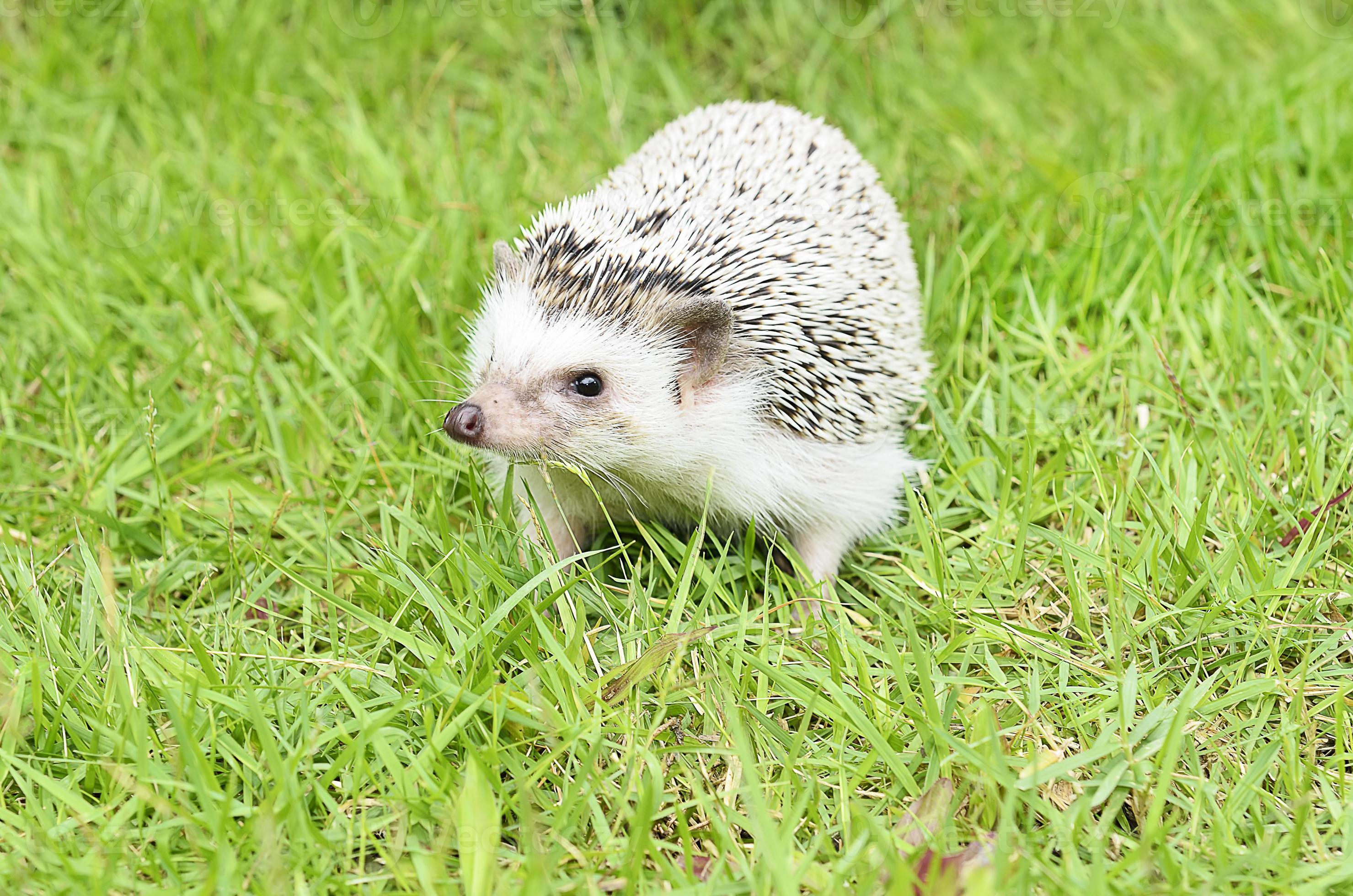 African Pygmy Hedgehog Different Types of Hedgehogs