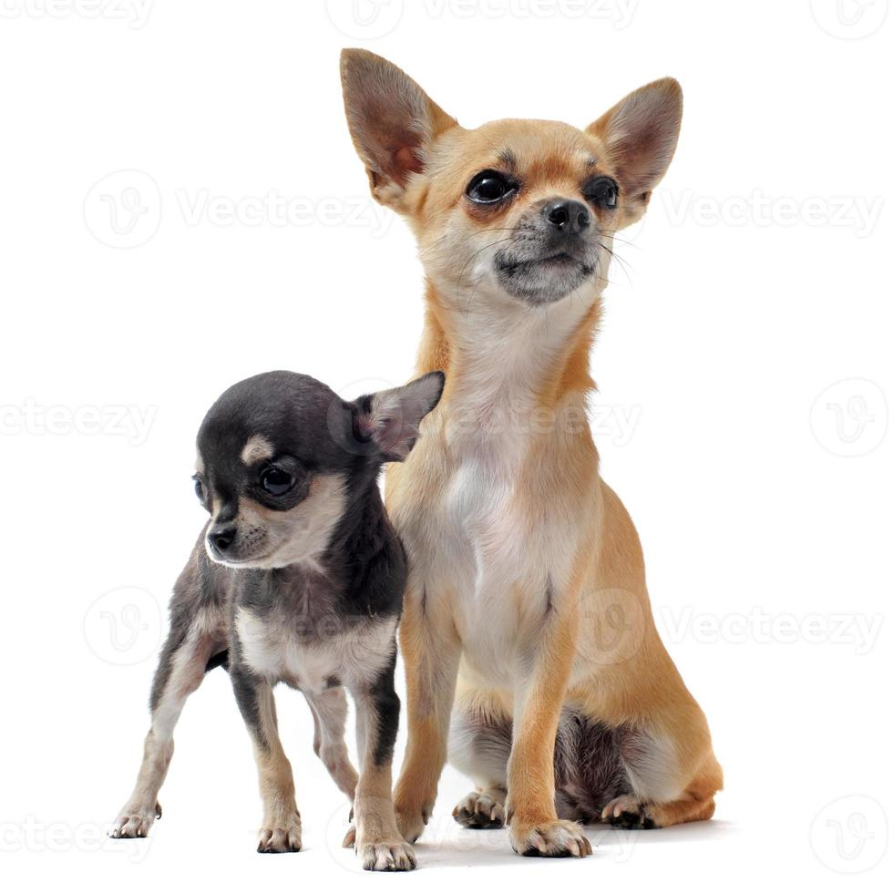 cachorro chihuahua y hembra foto