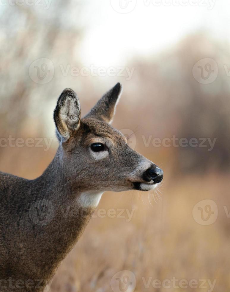 Female deer photo