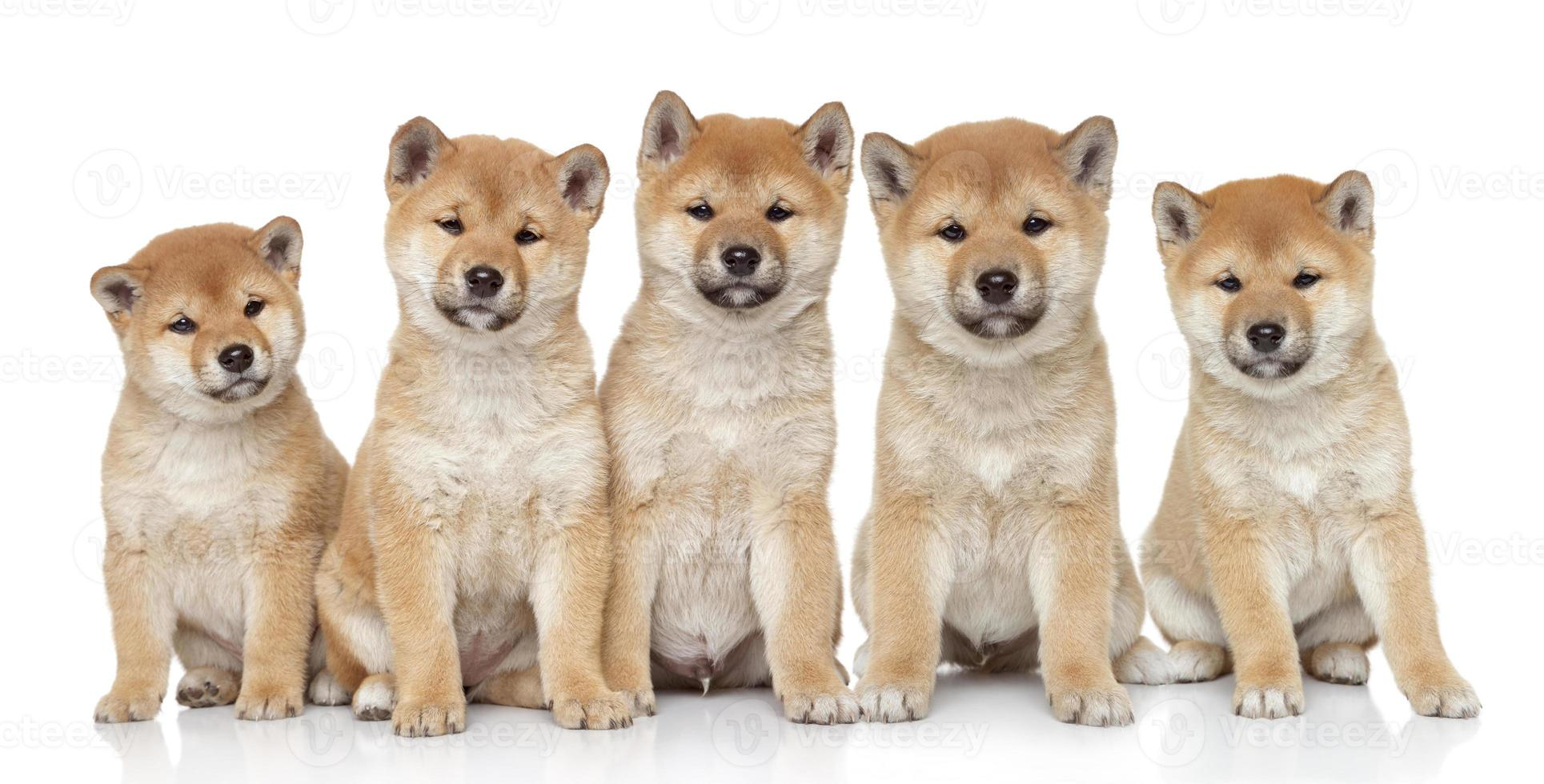Shiba inu puppies portrait photo