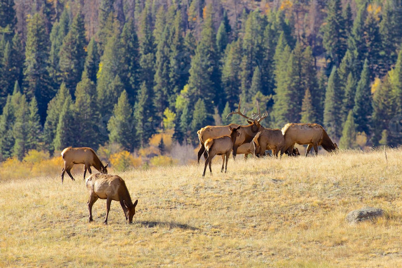 Elk Herd in Meadow photo