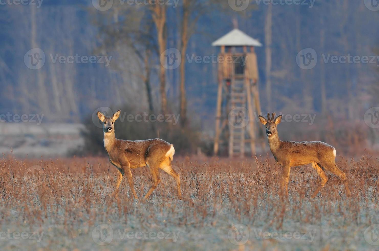 Two roe deer photo