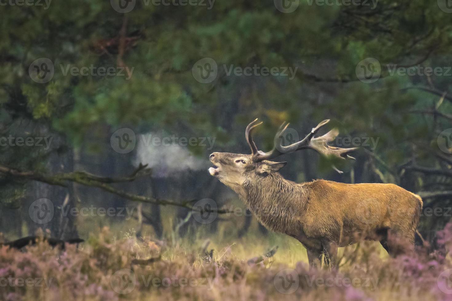 Male red deer rutting photo