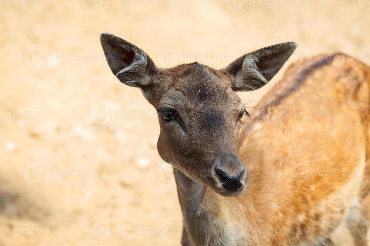 Small deer in the national park of Thassos. photo