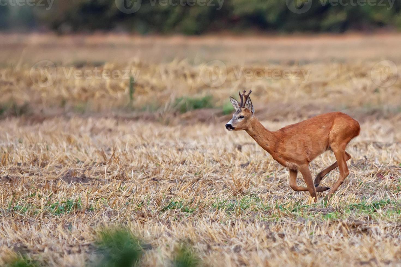 Buck deer on the run photo