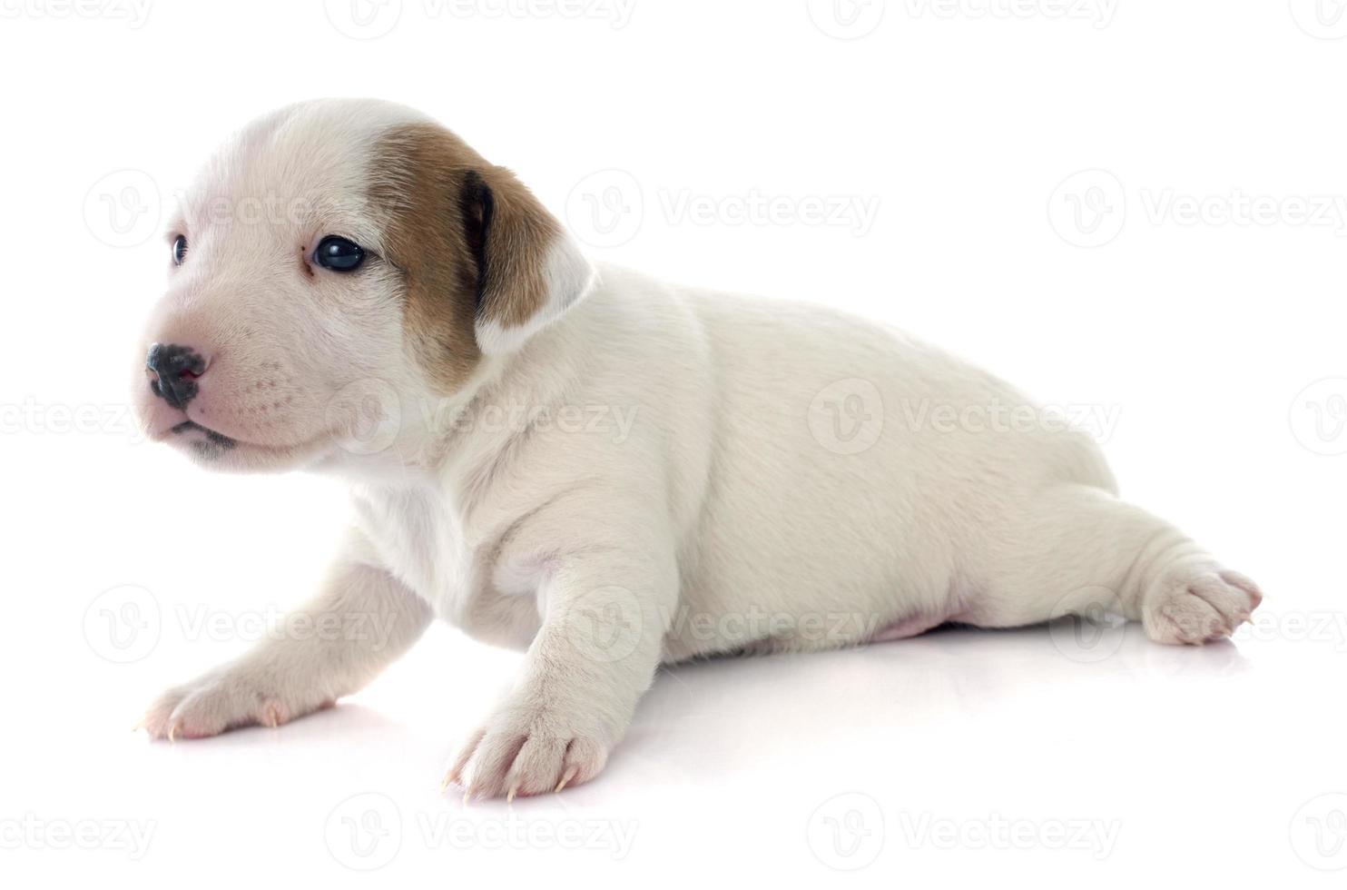 cachorro jack russel terrier foto