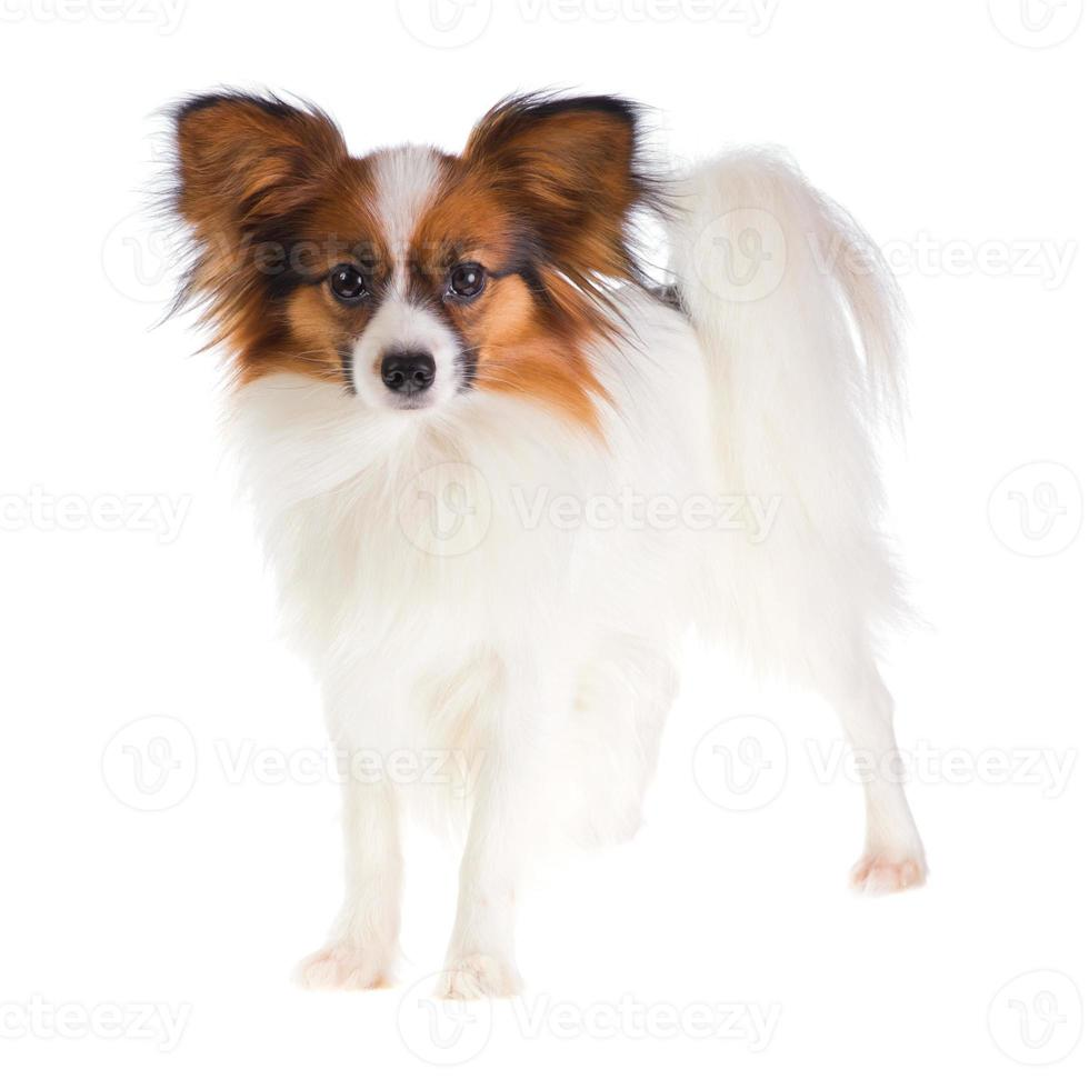 Papillon Dog photo