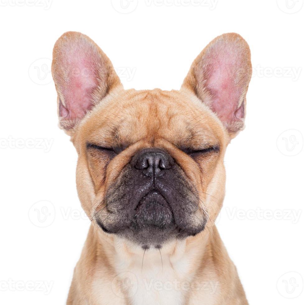 cervatillo bulldog francés foto