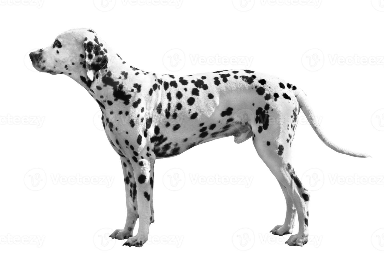 perro dálmata foto