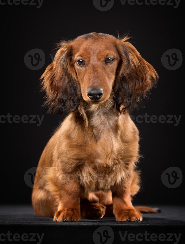 perro salchicha de pelo largo foto