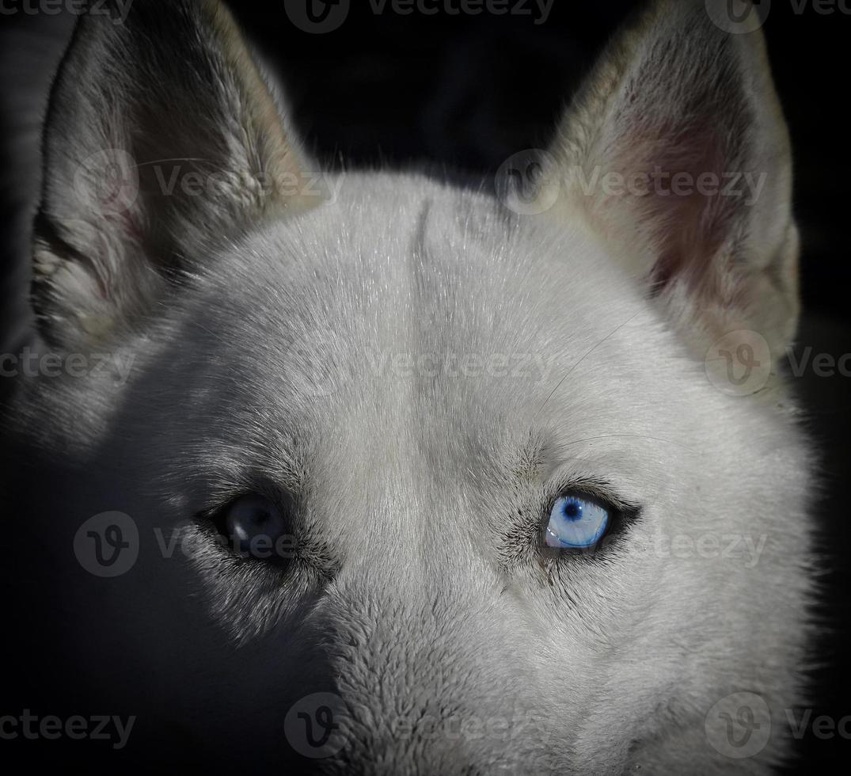 perro husky siberiano blanco con ojo azul foto
