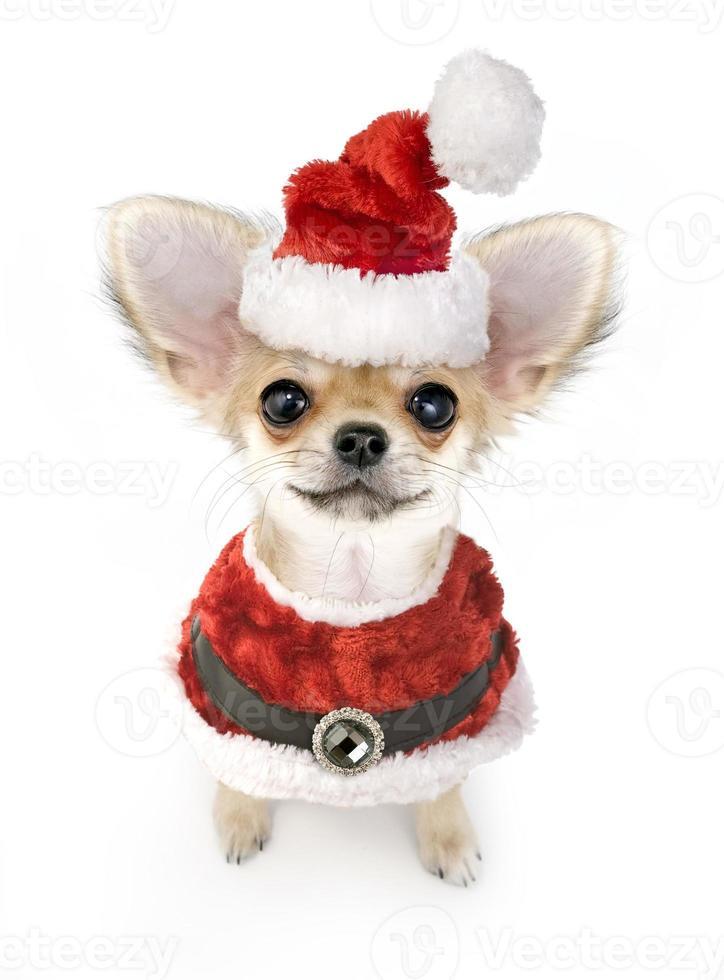 Chihuahua de pelo largo cachorro en traje de santa foto